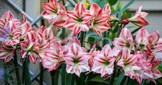 Pink and white candy striped amaryllis flower