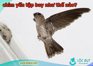 Chim yến non tập bay như thế nào?