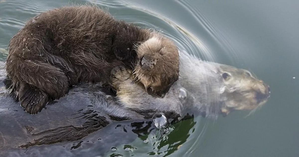 Adorable Pictures Show Mother Otter Keeping Her Baby Dry On Her Chest