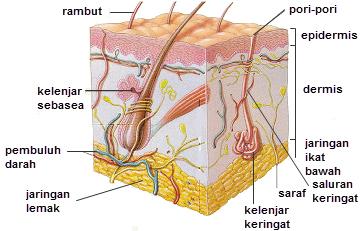 Gambar Bagian-bagian kulit
