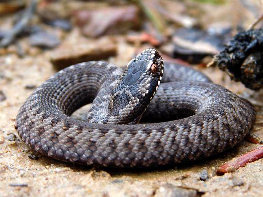 Żmija zygzakowata (Vipera berus).