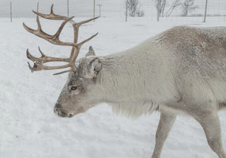 an antlered reindeer up close