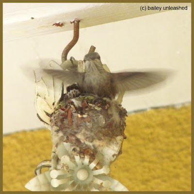 baby hummingbird trying out his wings | via baileyunleashed.com