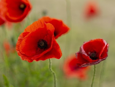 Red poppies in a field.
