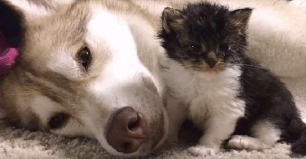 Собака заменила котенку маму. Котенок Гав, считает себя собакой. До чего же мило!