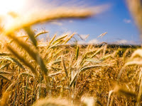 Wheat Field Photo by Raphael Rychetsky on Unsplash