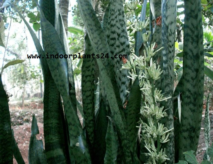 🤷GREEN🤷Snake Plants, Mother in Law Tongue Plant Benefits