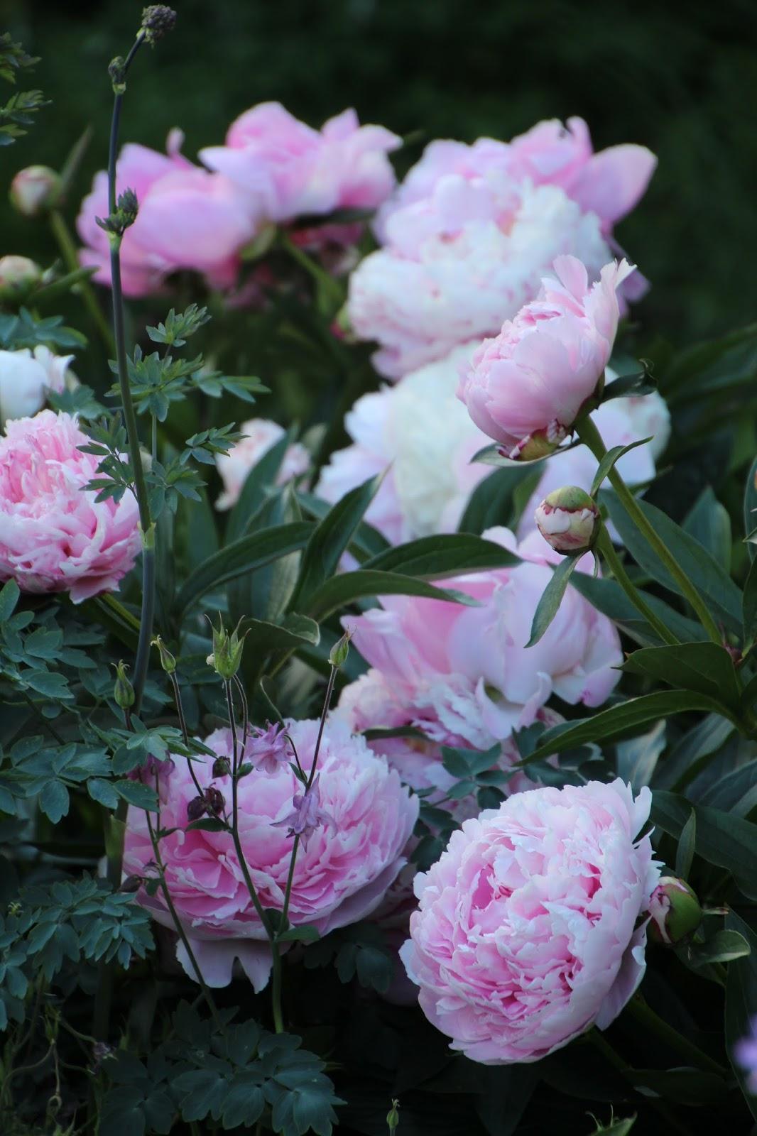 Luktpion Paeonia lactiflora 'Sarah Bernhardt'