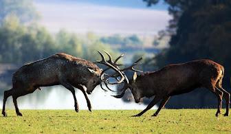 Pelea entre ciervos