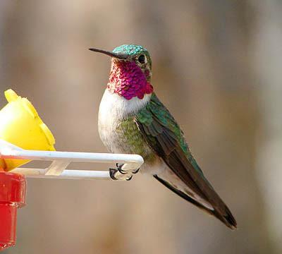 Photo of Broad-tailed Hummingbird on feeder