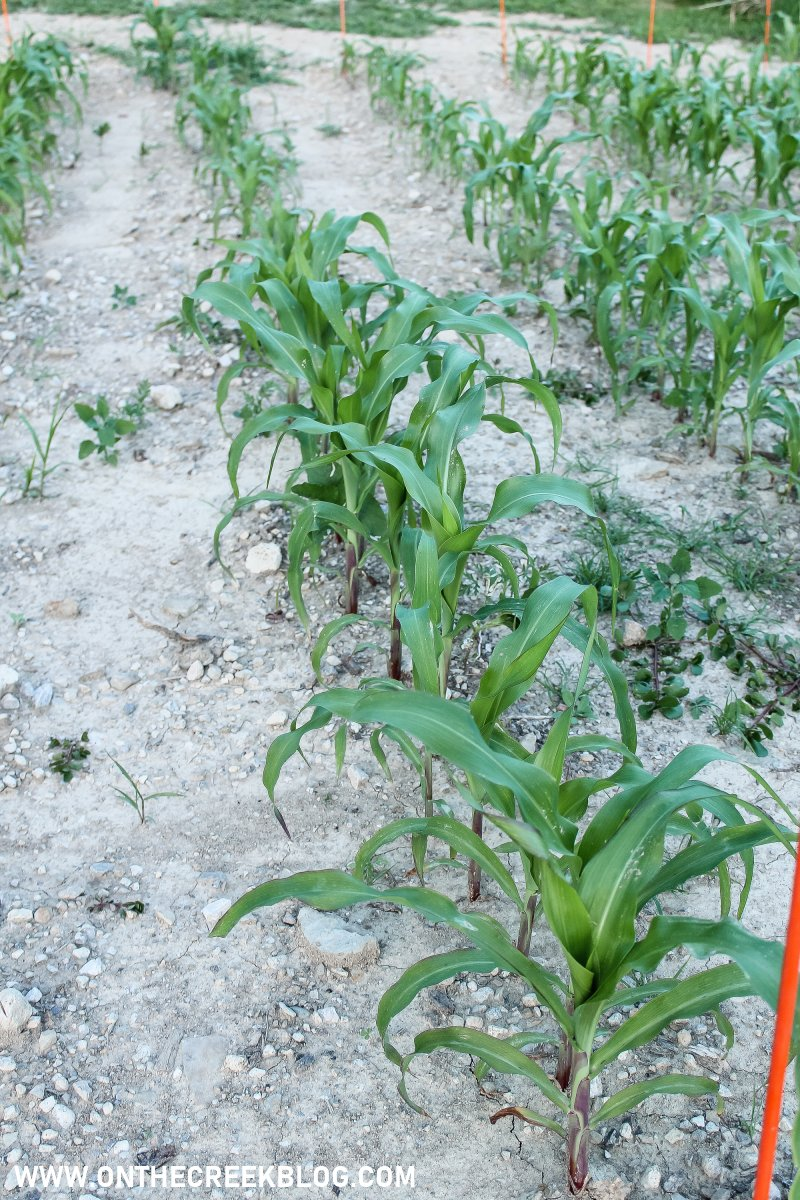 Corn growing in my garden! | On The Creek Blog