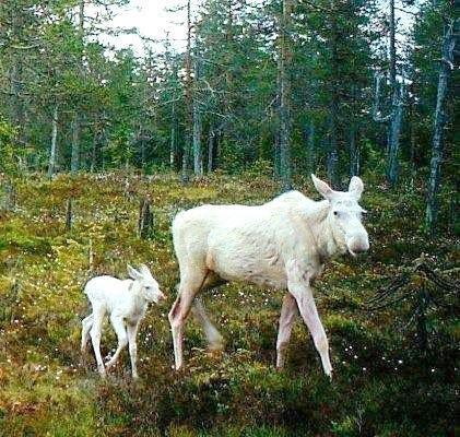 Moose | A-Z List of 125 Rare Albino Animals [Pics]