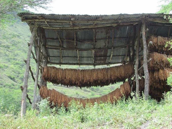 El cultivo del tabaco, historia con un triste final…