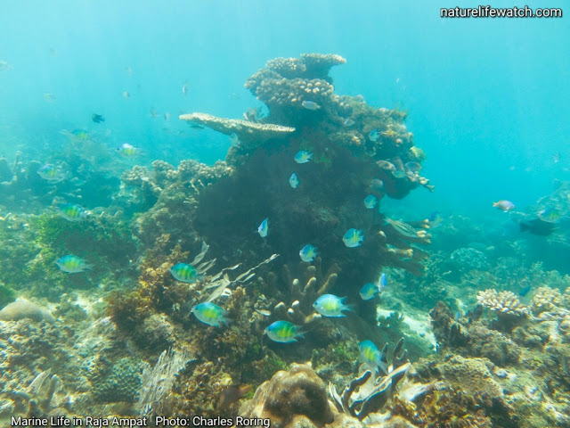 Snorkeling picture from Raja Ampat