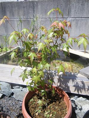 もみじ 鉢植え 枝