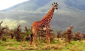 Indicador manchas jirafas