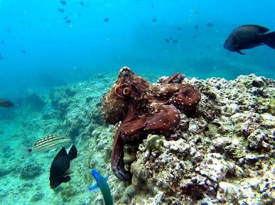 Photo of an octopus scuba diving Koh Phi Phi