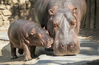 zdjęcie przedstawia dwa hipopotamy. mały hipopotamek trąca nosemwiększego