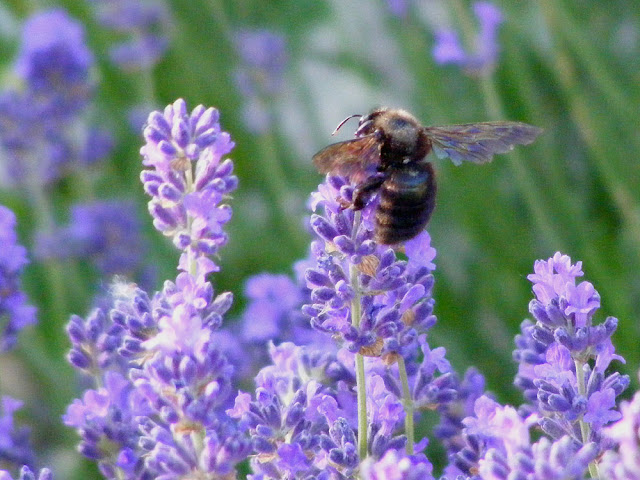 Violet Carpenter Bee Xylocopa violacea on lavender.  Indre et Loire, France. Photographed by Susan Walter. Tour the Loire Valley with a classic car and a private guide.