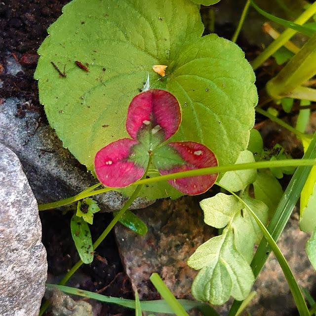 Rosa kløverblad