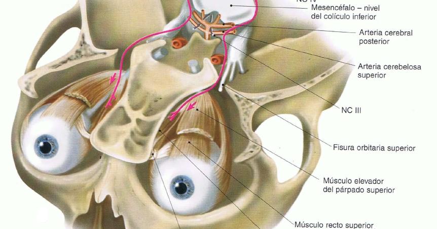 NeuraNeuro  IV par troclear o pattico