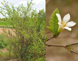 พุด อินถวาน้อย (พุดน้ำ) พุดป่าของไทย