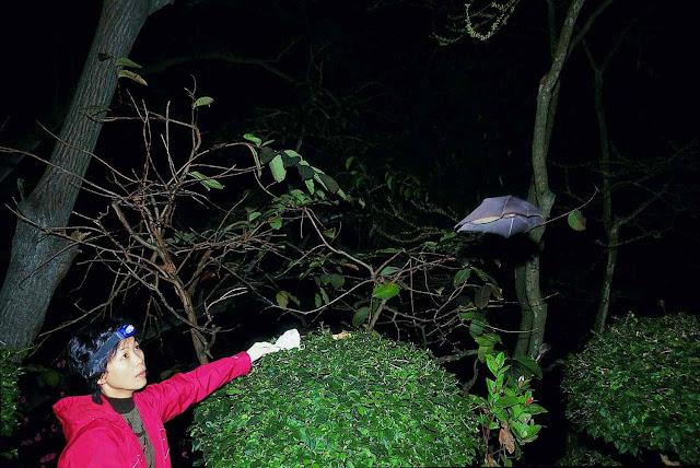 A virologista Shi Zhengli libera morcego de caverna após lhe tirar o sangue. Foto: Instituto de Virología de Wuhan. Shi Zhengli presidia o laboratório quando tudo começou