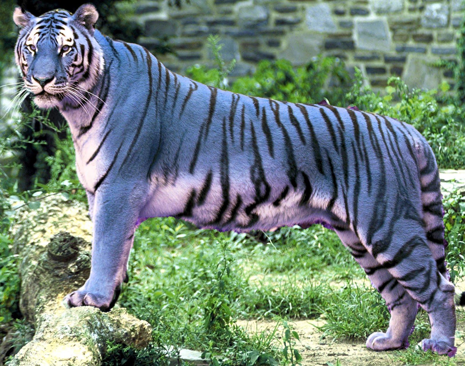 blue tiger images