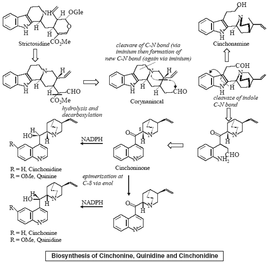 Biosynthesis of Cinchonine, Quinidine and Cinchonidine