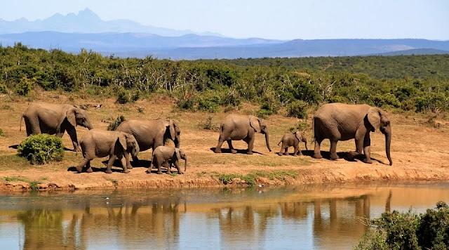 Africain elephant