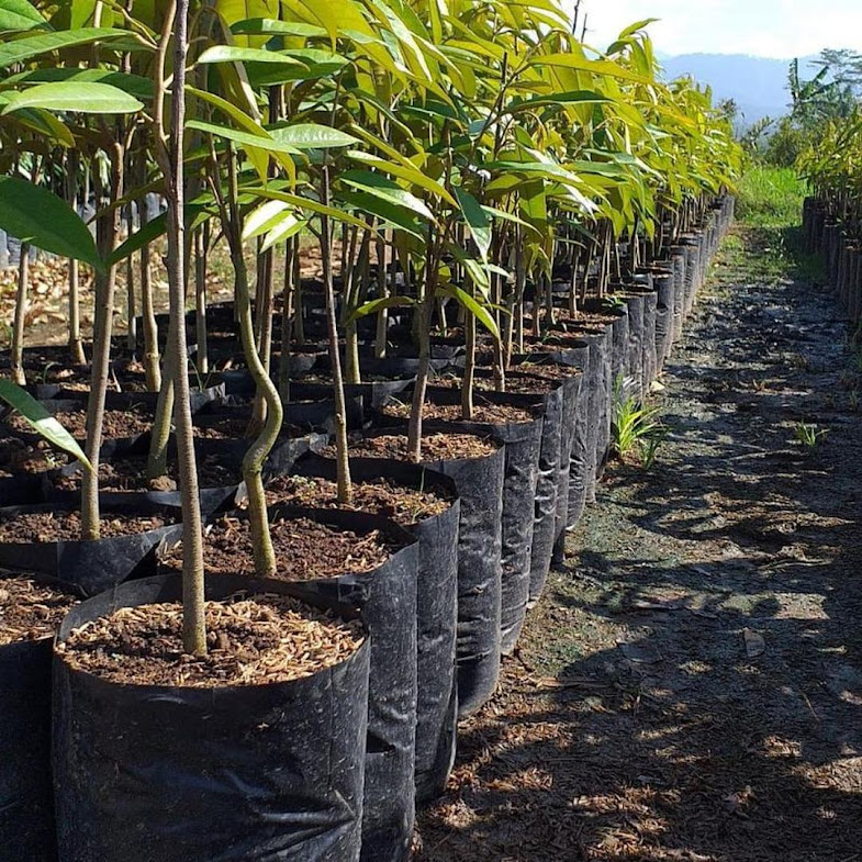 Bibit Durian Montong Super jumbo Denpasar