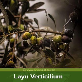 ciri ciri pohon layu verticilium