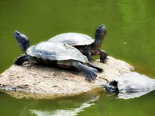 Tartarugas em Pedra do Lago do Parcão