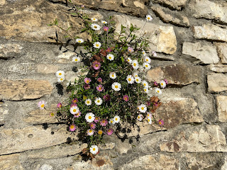 Erigeron karvinskianus on a wall in San Vigilio, Bergamo.