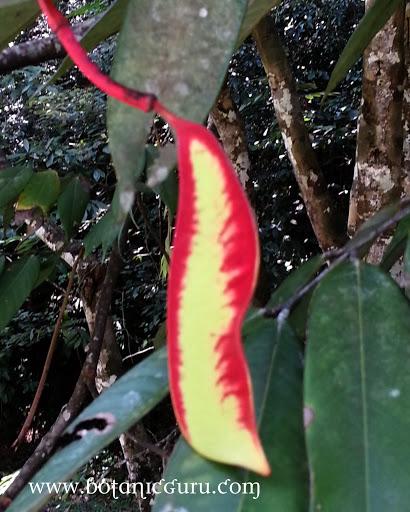 Amherstia nobilis, Pride Of Burma, Queen of Flowering Trees