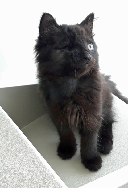 black long-haired kitten with missing eye