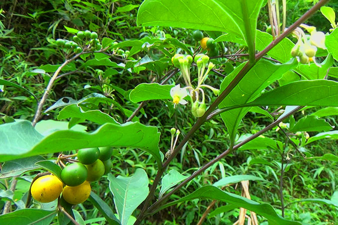 Dlium Twoleaf nightshade (Solanum diphyllum)
