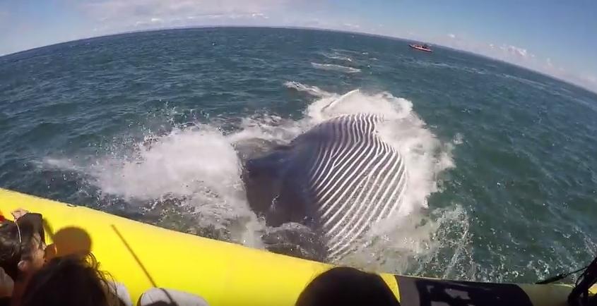 Baleia-comum