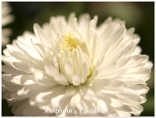 White Flower Macro by Seraphinas Phantasie