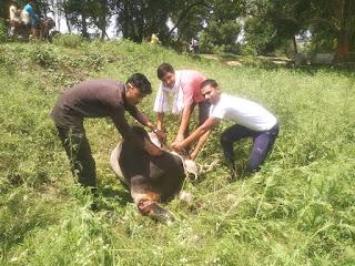 बेसहारा घायल गायों की निरन्तर देखभाल कर रहे बरूई के युवा प्रांशु वर्मा