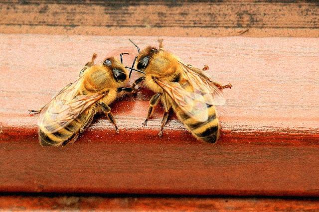 pszczoły owady