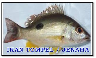 Mengenal Nama Nama Ikan Yang Biasa Terpancing Di Pinggiran Laut Aliems Journey