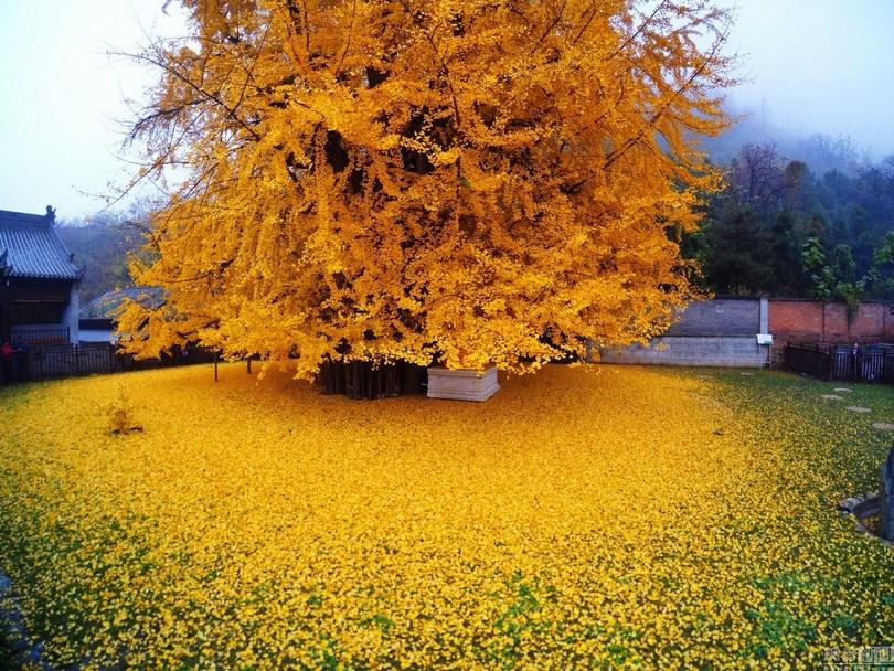 1400 year old ginkgo tree