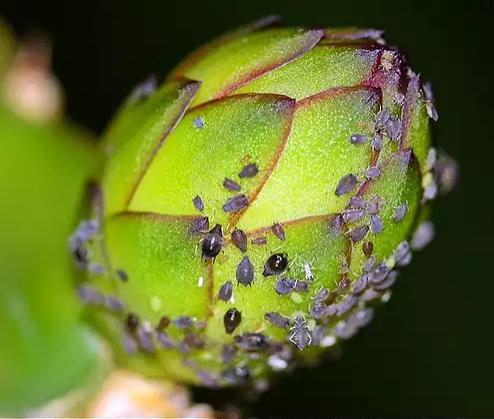 Cara Mengatasi Virus Buah Naga