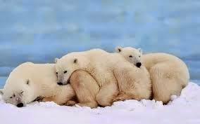 foto tierna de osos polares