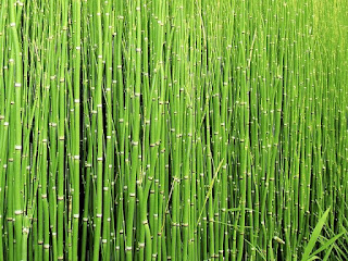 bambu horsetail