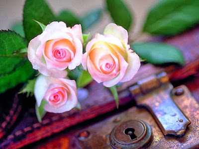 white pink rose photo