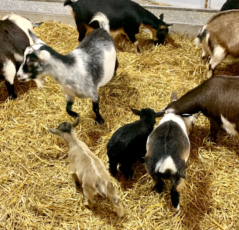 Lots of goats at Franktown Festival of Lights