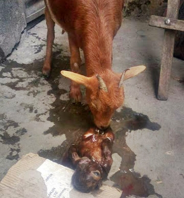Goat Born With One Eye and Without a Nose in Niger State