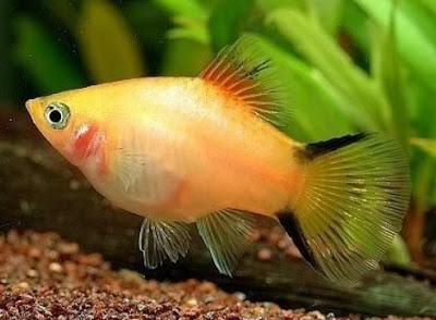 Gambar Ikan Platy Twin Bar